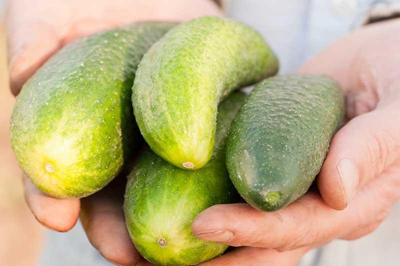 snabbsaltad gurka
