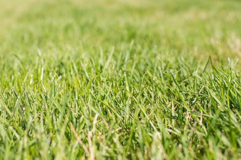 gräsklipp som gödsel